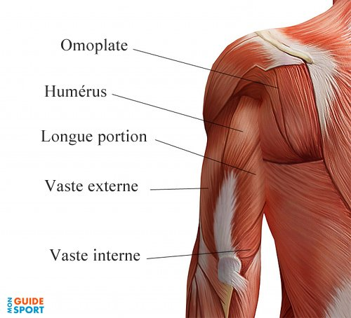triceps-muscles
